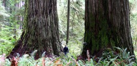 Giant redwoods, NorCal