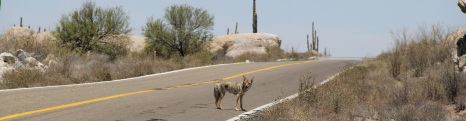 Coyote on the No1 Mex
